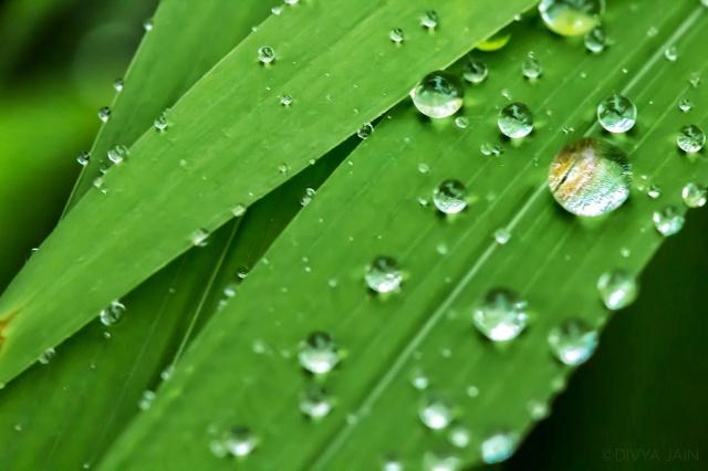 Divya jain--dew drops-.jpeg